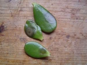 Hortensien Blätter Werden Braun : was ist los mit diesem geldbaum bl tter fallen ab ~ Lizthompson.info Haus und Dekorationen