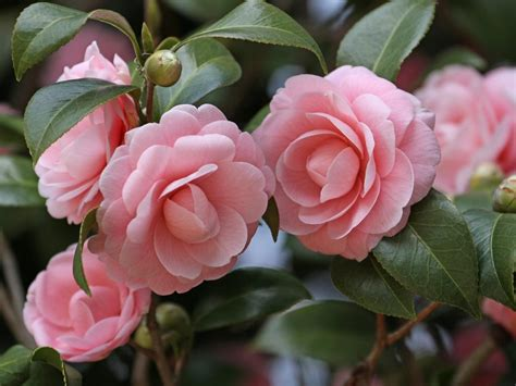 floor and decor smyrna ga camellia pictures 28 images camellia pruning how to