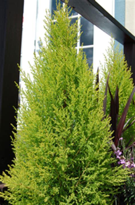 cupressus macrocarpa wilma goldcrest sloat garden center