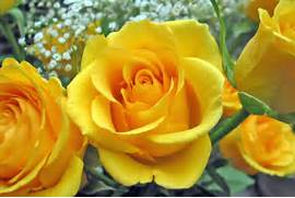 Flowers Wallpapers   Images of Beautiful Flowers   Path of Yellow Rose  Beautiful Pictures Of Yellow Roses