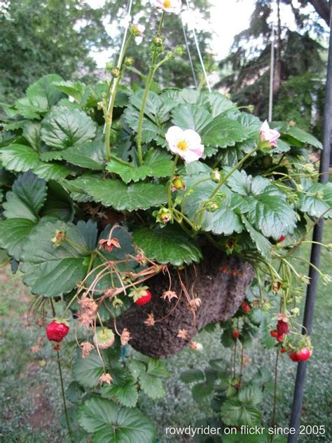 hanging strawberry planter hanging strawberry garden how to grow strawberries in