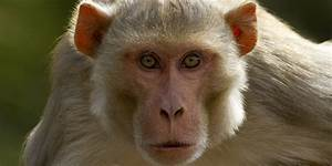 Brain Implant That Lets One Monkey Control Another May