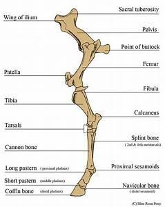 Huesos Del Miembro Posterior
