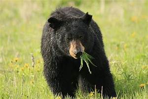 Panoramio - Photo of black bear eating sage