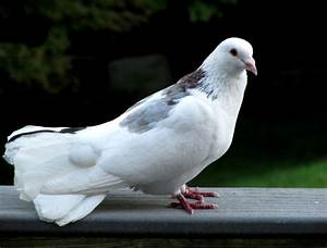 Flying Beautiful Pigeon Wallpaper | Wallpaper Gallery