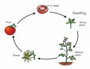 Tomatosphere