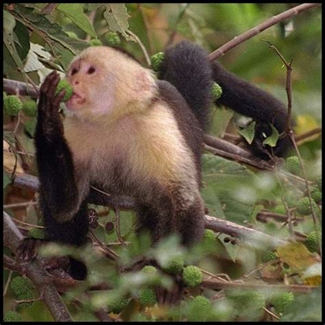 small monkey breeds most commonly kept primate species monkeys kept as pets