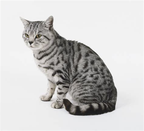 shorthair cats image gallery shorthair
