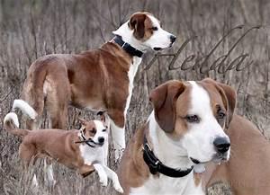 Hedda (Border Collie, Deutscher Boxer, Grosser Schweizer ...