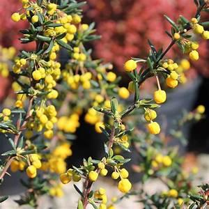Berberis Evergreen Hedge  Berberis X Stenophylla