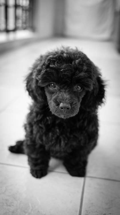 Hello from the Philippines - Poodle Forum - Standard