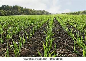 Wheat Plant Stock Photos, Images, & Pictures | Shutterstock