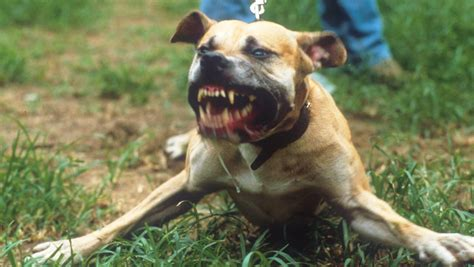pregnant woman left  bloody wounds  dog attack