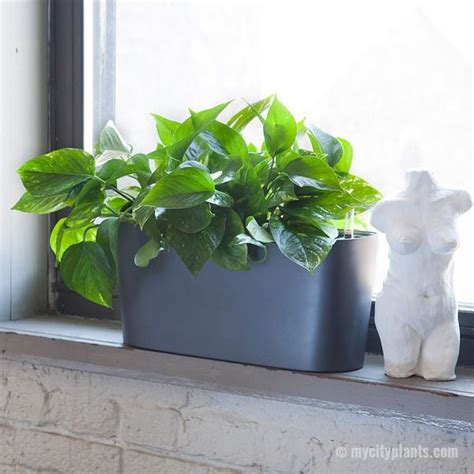 Plants For Windowsill by Pothos Plant Potted In Charcoal Windowsill Planters My