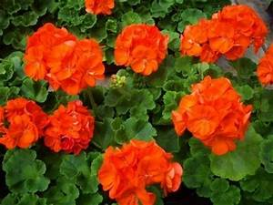 Growth Chart Red Orange Geraniums Flowers For You Flower Garden