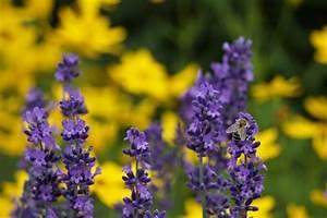 Lavendel Schneiden Im Herbst : lavendel frischer duft garantiert ~ Lizthompson.info Haus und Dekorationen