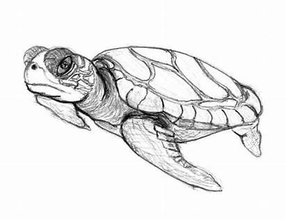 Turtle Pencil Sea Sketch Coloring Drawing Realistic