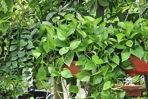 Hängepflanzen Für Balkonkästen : h ngepflanzen pflegen tipps f r die zimmerpflanzen ~ Michelbontemps.com Haus und Dekorationen