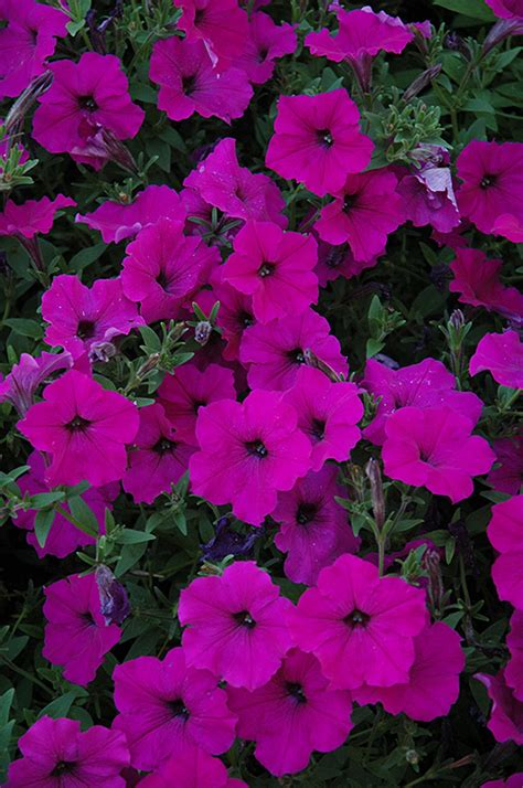 easy wave petunias easy wave violet petunia petunia easy wave violet in winnipeg headingley oak bluff manitoba
