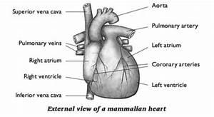 46 The Heart