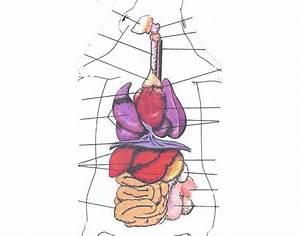 Rat  Rat Organs