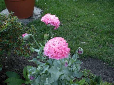 Garten Mohn Pflanzen by Welche Pflanze Ist Das Mohn Mein Sch 246 Ner Garten Forum