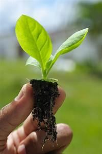 Tabak Selber Anbauen : feldsalat setzlinge pflanzen feldsalat pflanzen feldsalat pflanzen und zucchini lust zucchini ~ Frokenaadalensverden.com Haus und Dekorationen