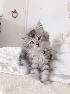 Silver tabby Maine Coon x Ragdoll kittens! | Pwllheli ...