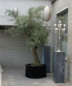 Planter Un Olivier En Pot : comment planter un olivier en pot ou en pleine terre ~ Dode.kayakingforconservation.com Idées de Décoration