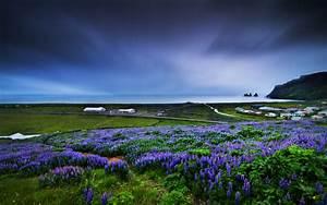 Beach Lilac flowers