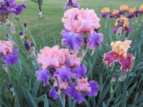 iris plant care irises plant care and collection of varieties garden org