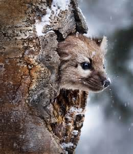 Pine Marten Animal