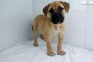 Bullmastiff puppy for sale near San Diego, California ...