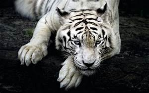 fond ecran hd animal tigre blanc gratuit wallpaper white ...