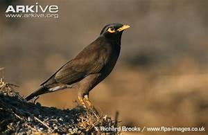 Common myna videos, photos and facts - Acridotheres ...