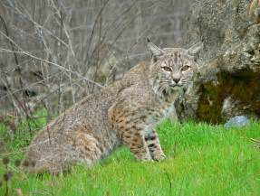 bob cats file bobcat2 jpg