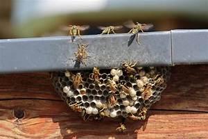 Comment Repérer Un Nid De Frelon : nid de gu pes ou de frelons que faire ~ Melissatoandfro.com Idées de Décoration