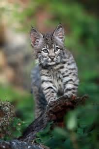 Baby Bobcat Kittens