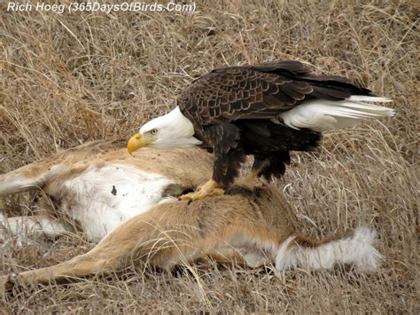 day  roadkill cafe bald eagle  days  birds