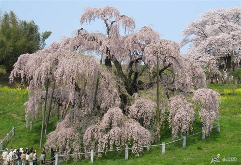 facts about cherry blossom trees interesting facts about cherries just fun facts