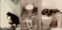 cats toilet paper imgflip