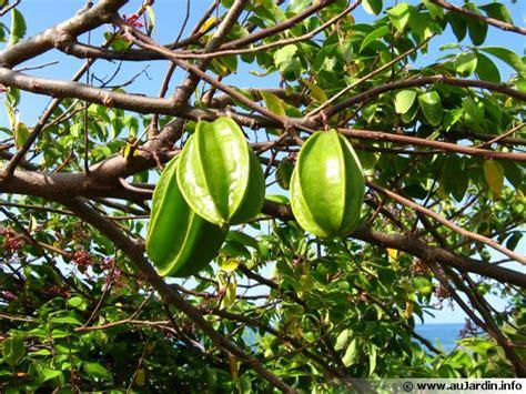 cuisiner le fruit de l arbre à carambolier carambole averrhoa carambola conseils de culture