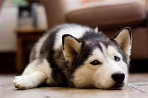 animal, cute, dog, eyes, husky - image #406492 on Favim.com