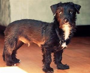 Schnauzer Terrier Mix Black | www.pixshark.com - Images ...