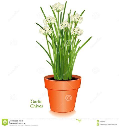 ciboulette d ail pot de fleur d argile photographie stock image 30698282