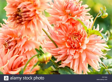A Bunch Of Dahlia 'fairway Spur' Salmon Pink Flowers Close