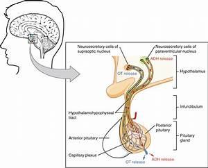 17 3 The Pituitary Gland And Hypothalamus  U2013 Anatomy And Physiology