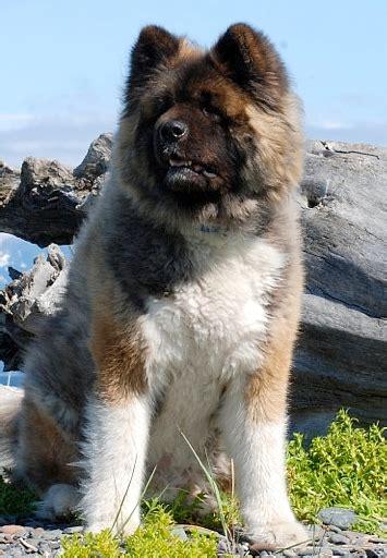 cane di famiglia discussione l akita americano 2 5