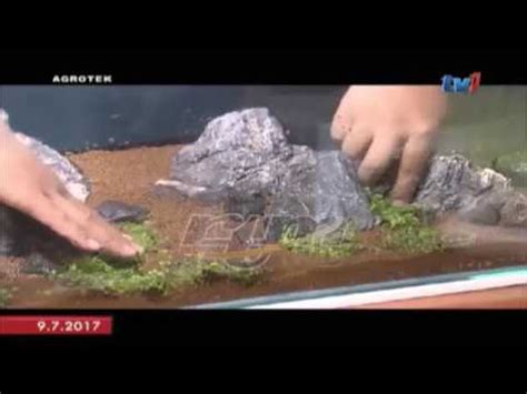 Aquascape Malaysia by Agrotek Hobi Hias Aquarium With Aquatic Plant Kelab