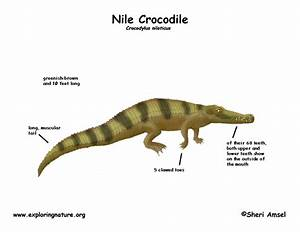 Crocodile  Nile